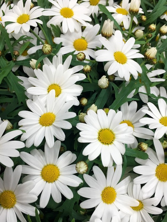 White Chrysanthemum No 2