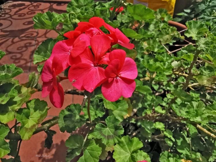 Pelargonium of Spring Garden