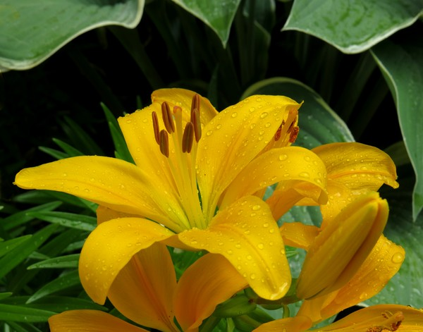 Yellow day lily!
