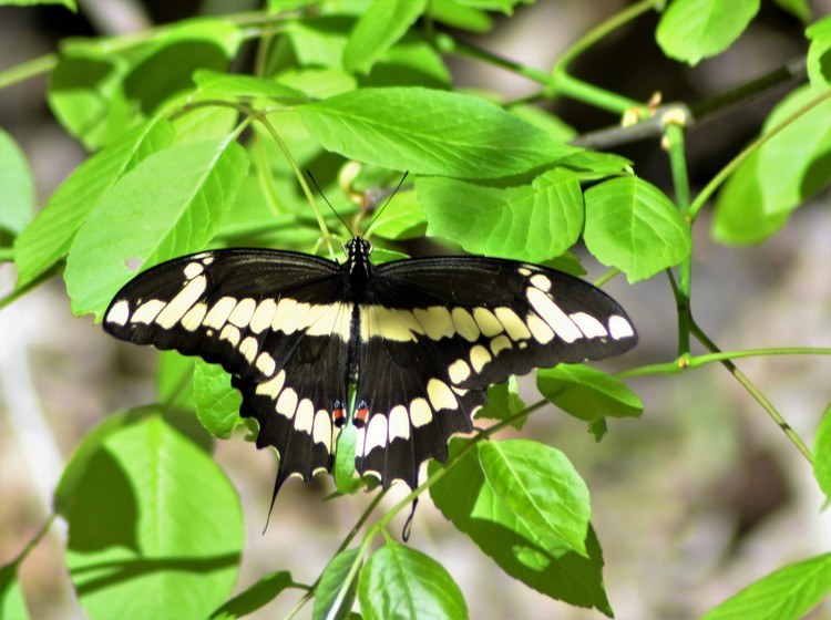 Giant Swallowtail - Meadow Pond Trail