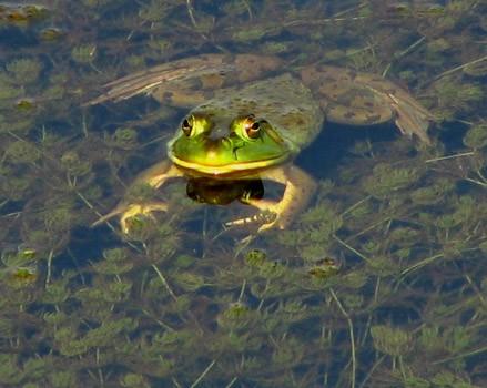 Ole Mr. Bull Frog