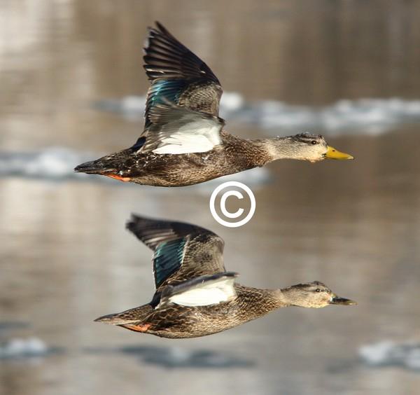Female Mallards in Flight