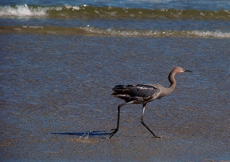 Reddish Egret Working