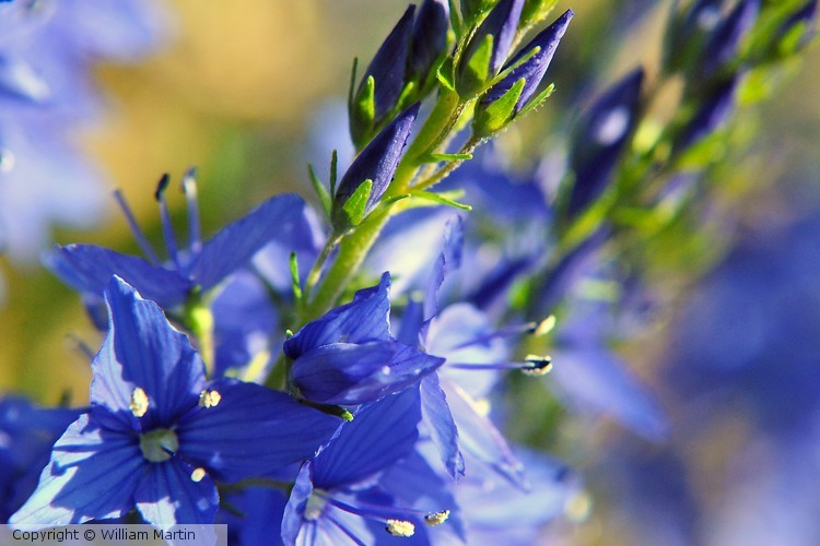 Blue Flowers in the Sun