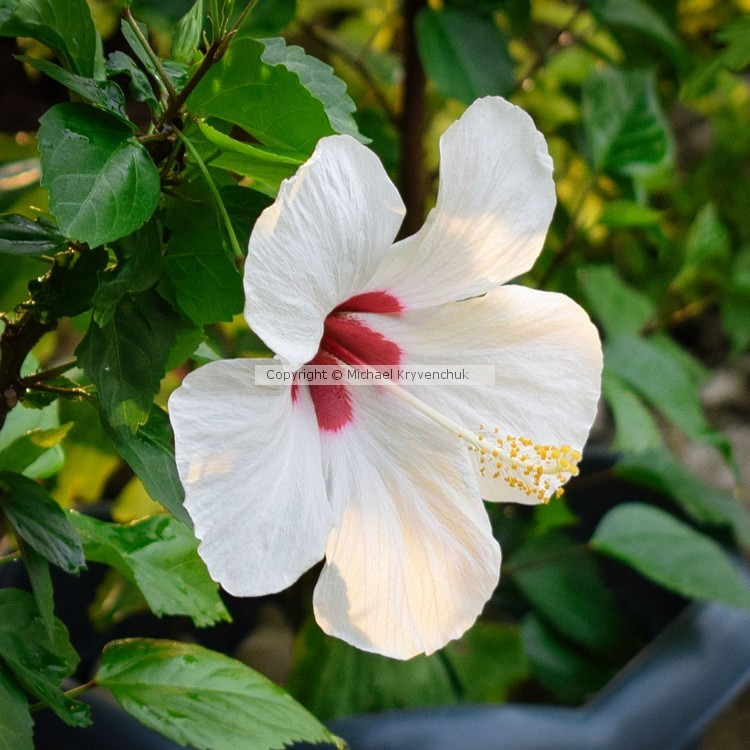 White and Red Blossom