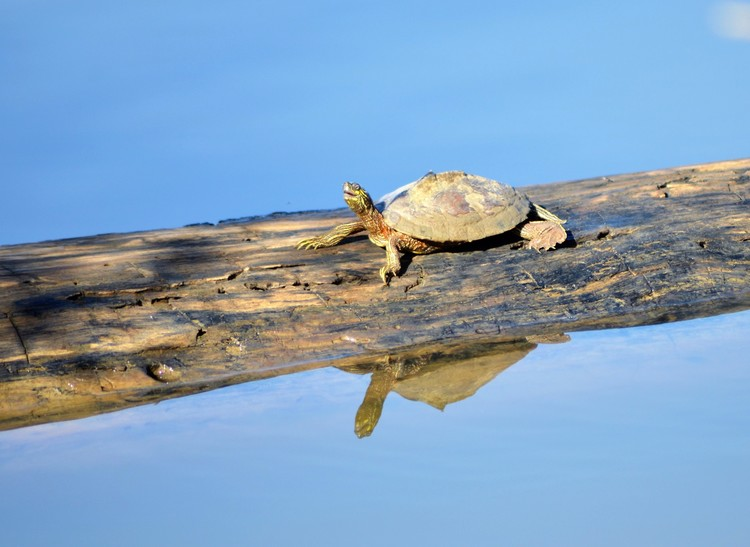 Ouachita Map Turtle (male)