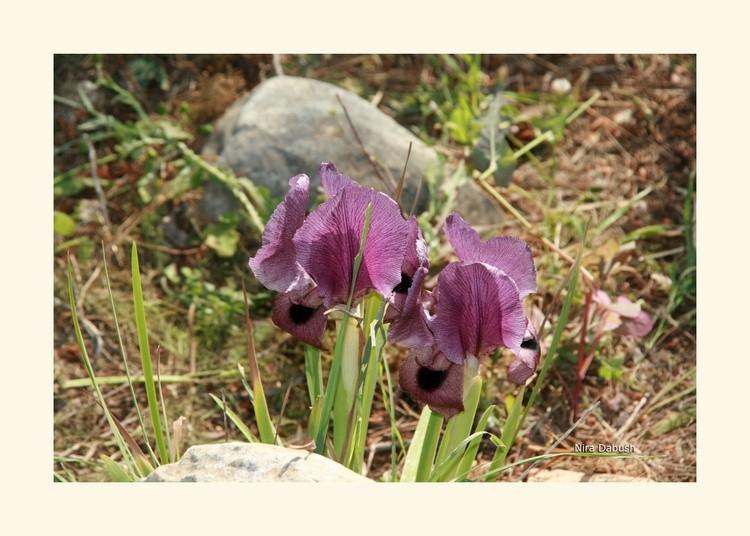 Irises of Spring
