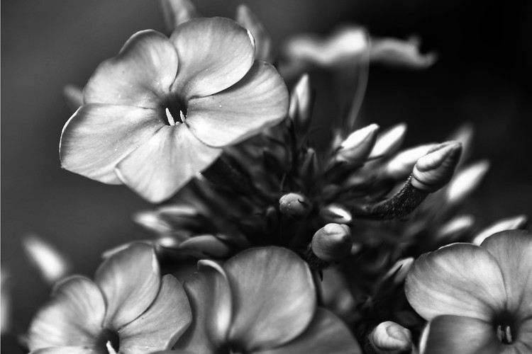 Black and White Photo Flower Study 3