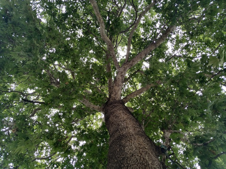 Canopy of Chinar Tree