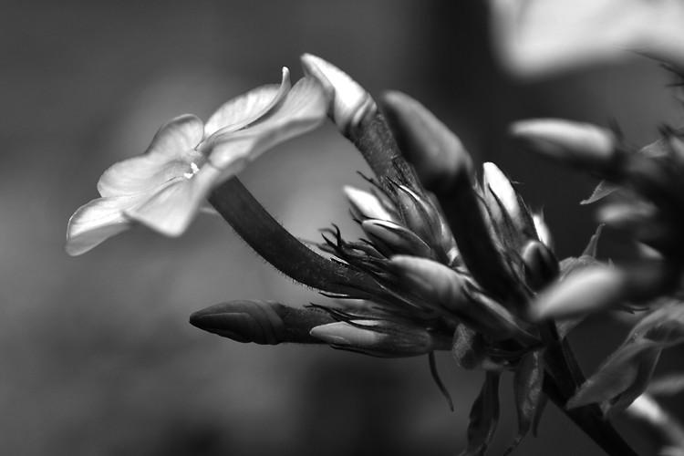 Lovely Black and White Photo Flower Study