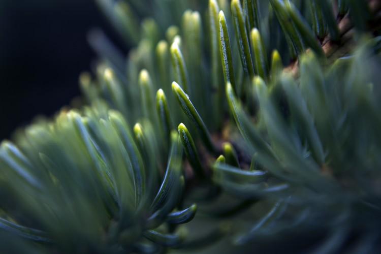 Blue Spruce Needle Macro Photo