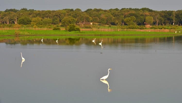 Mirrored Egrets