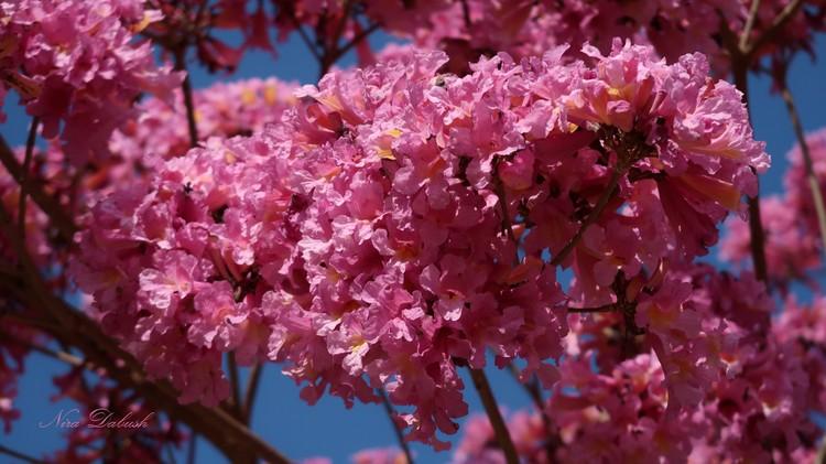 Pinkish Flowers of the Tree