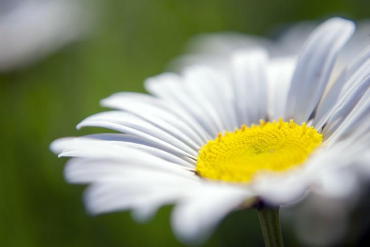 Lovely Daisy Color Macro Photograph