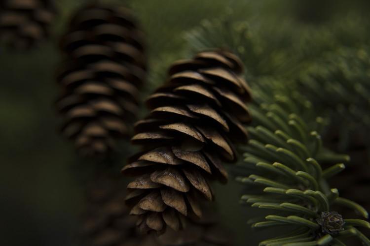 Macro Photo of Blue Spruce Pine Cones