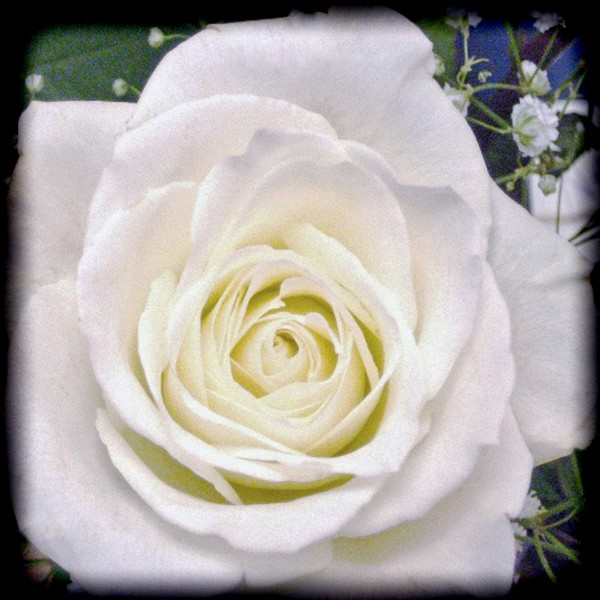 White August Rose
