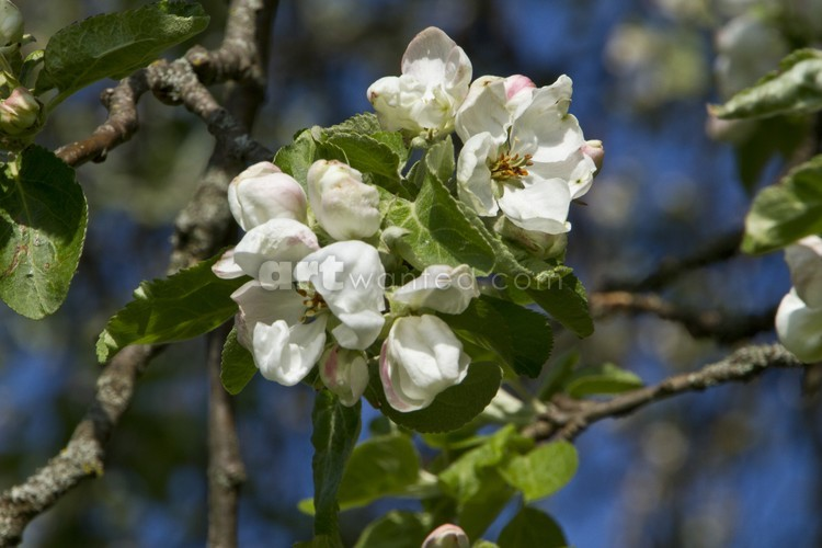 Apple tree spring flowers