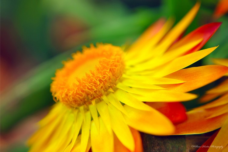 Yellow Red Flower Color Photo
