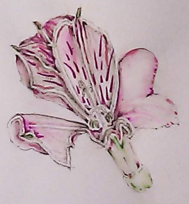 Pink Peruvian Lily Watercolor