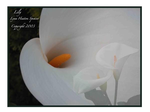 Llilies White