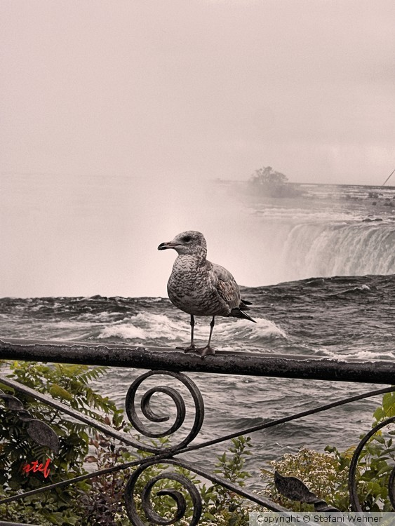 gull by the falls