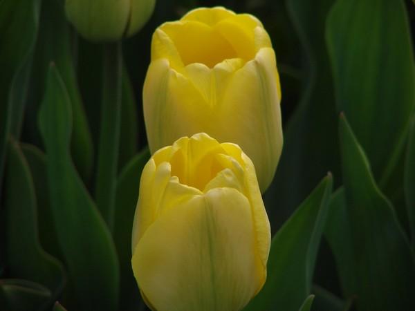 Tulips-Washington Park Albany NY
