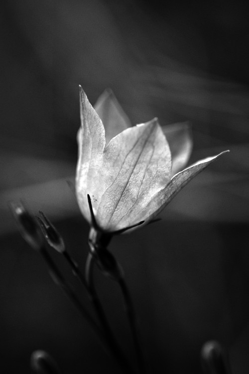 Single Delicate Flower in Black and White