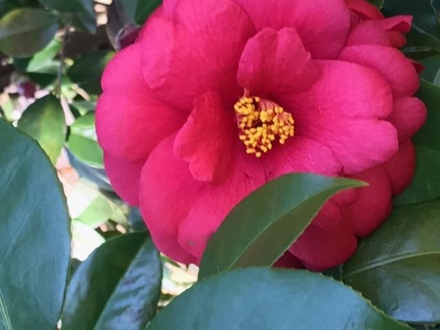 My Camellias 2
