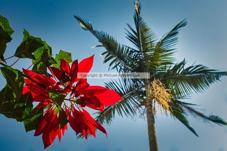 Poensettia and Palm