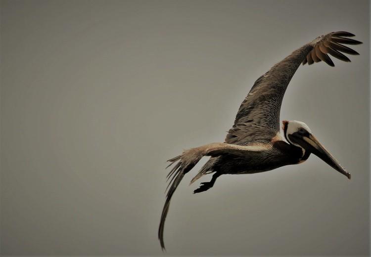 The Brown Pelican in Flight
