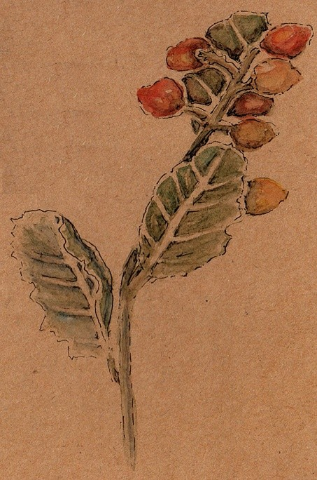 Cockspur Thorn Watercolor