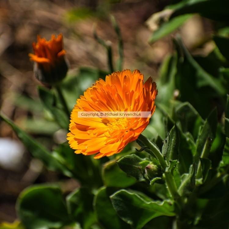 Crepis Aurea