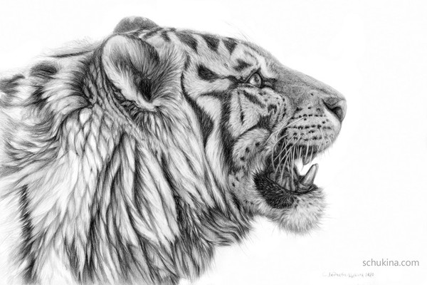 lion-roaring-side-view-drawing