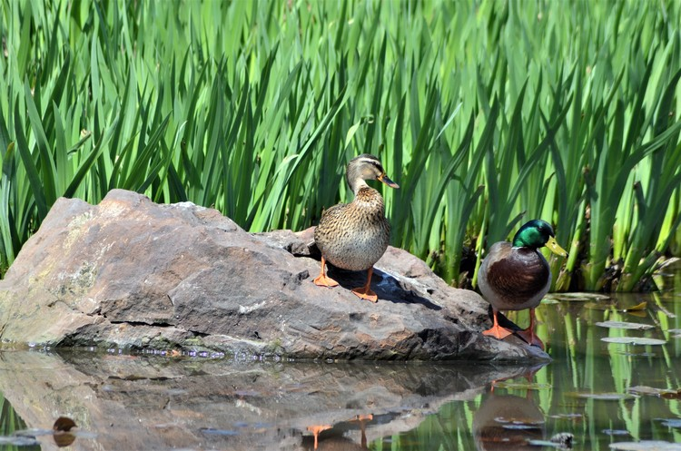 Mallard Pair - TWU Pond