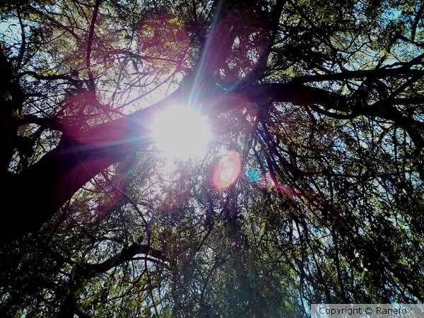 Sun through Willow tree