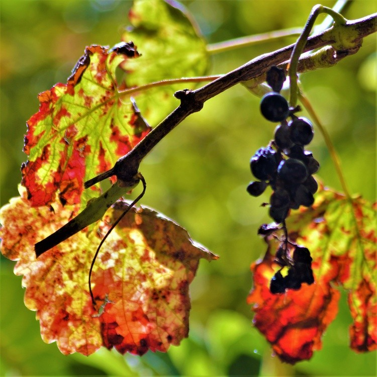 LEAVES AND GRAPES  IN AUTUMN