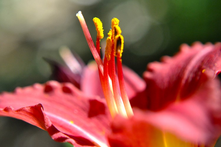 Glorious Red Lily