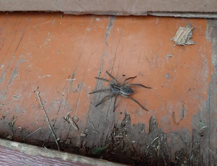 wolf spider 081819