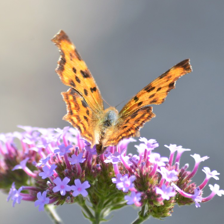 THE BEAUTY OF A BUTTERFLY ..
