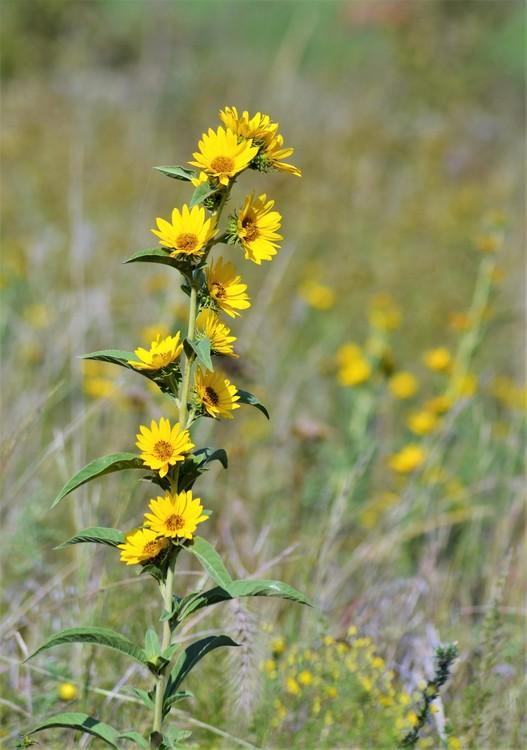 Maximilian Sunflower 10.5.19