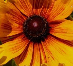 Yellow Delight 1