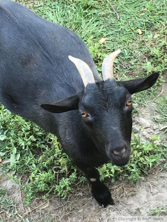 Sweet goat