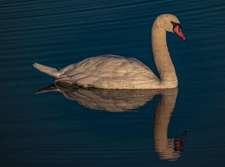 Swan in the Morning Light - November 2020
