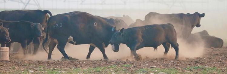 mama cow 1......little bull 0