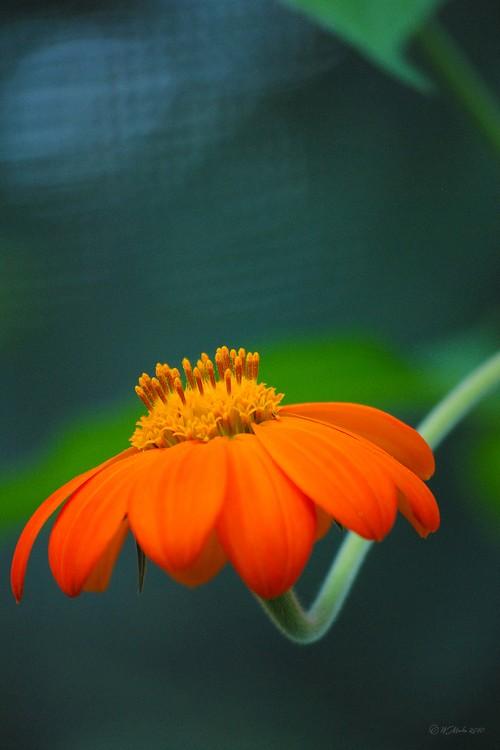 Orange Flower in Summer