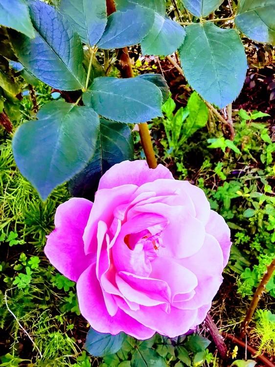 A Rose For Princess D.