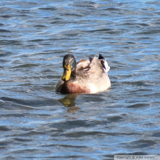 Swimming duck