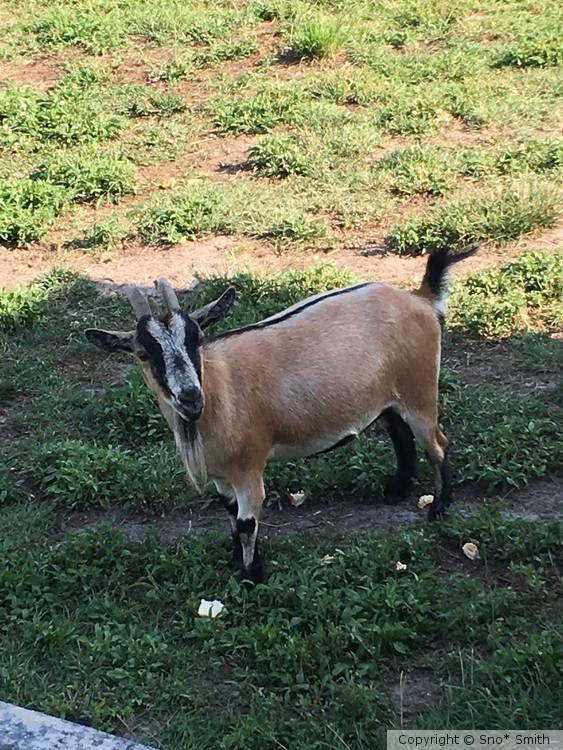 Tan Pygmy goat