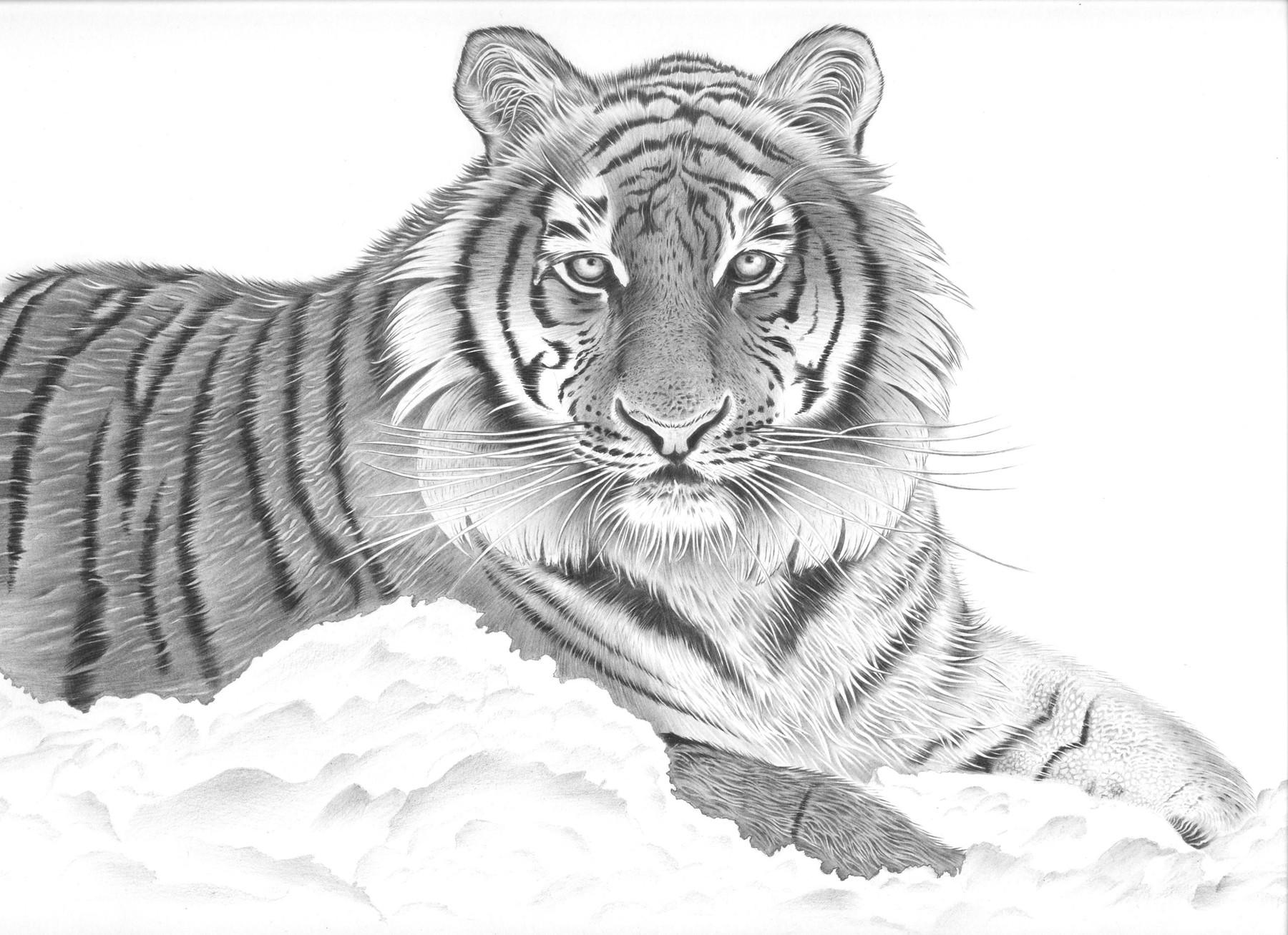 амурский тигр фото для раскраски реконструировать